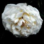 white rose4
